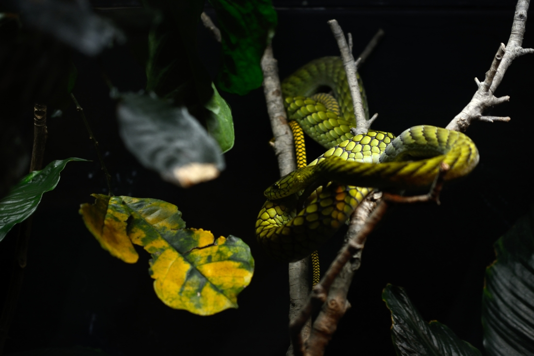 Dragon Snake Dark