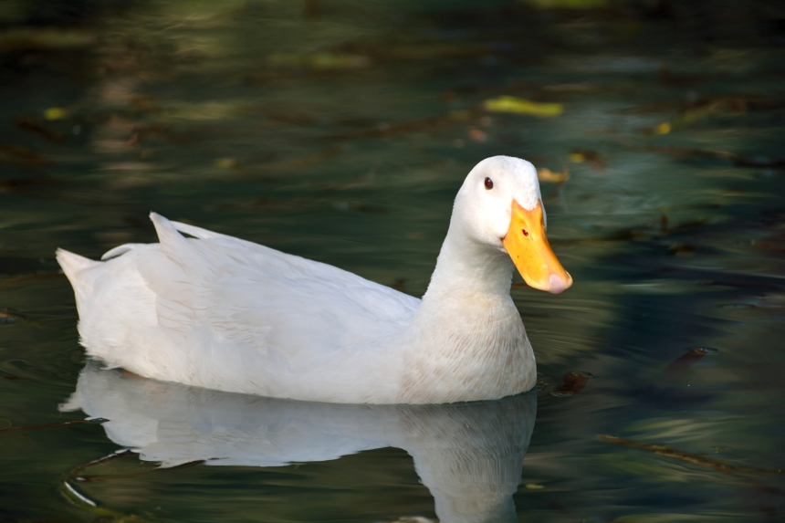 Lady Duck_Soft