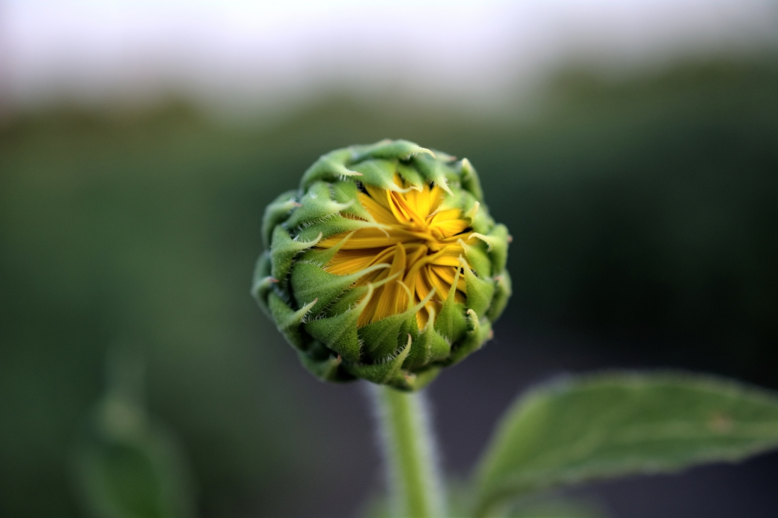 Sunflower bud_Soft