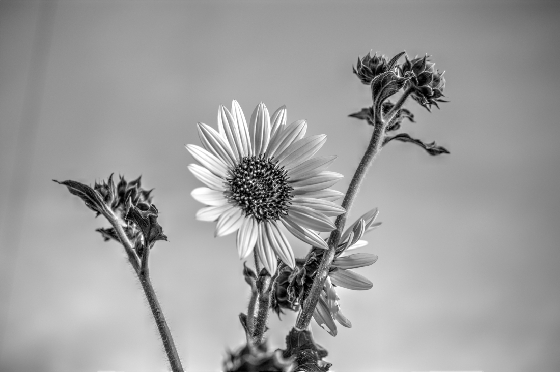 Sunflowers reaching for the sun_Monochrome 3