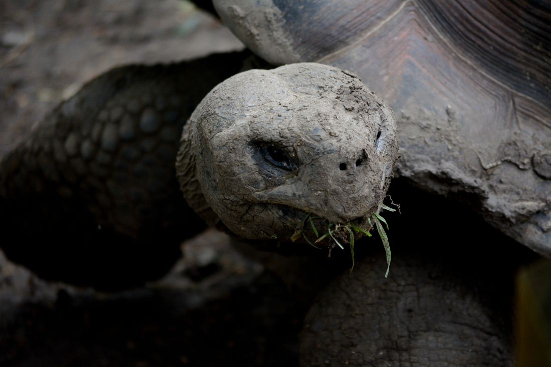 Tortoise munching on grass